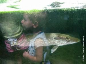 pesce luccio